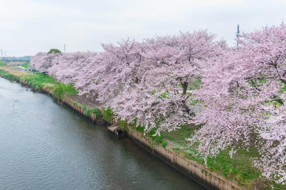 Fujinomiya Fiori di ciliegio in fiore