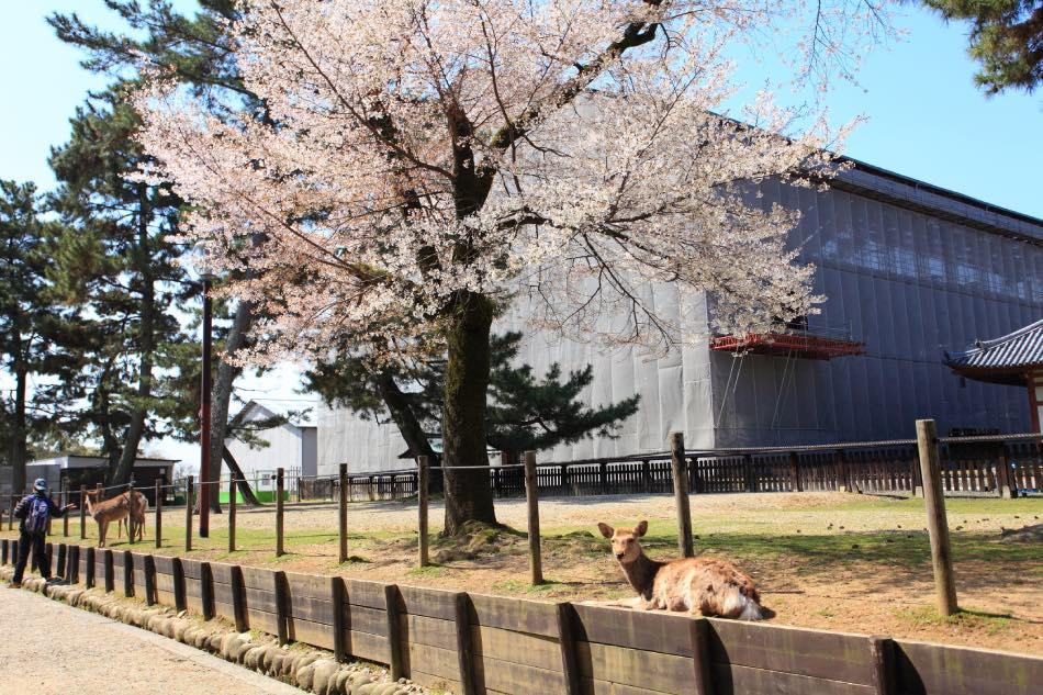 Nara Park in Primvera