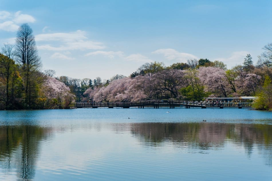 Parco Inokashira Fioritura Ciliegi